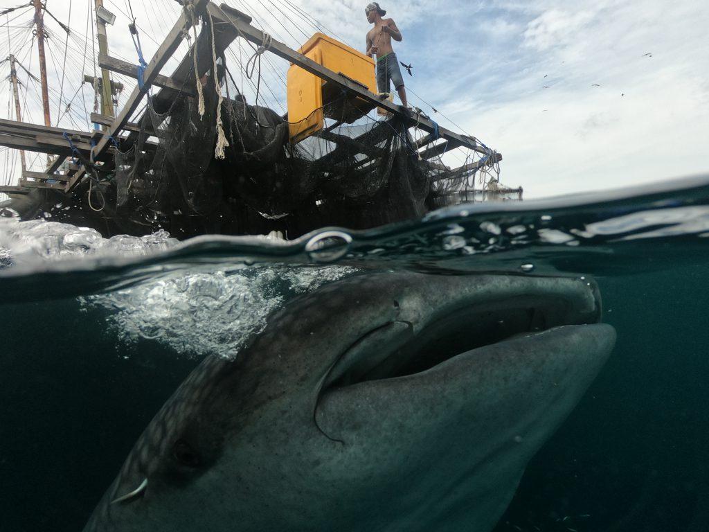 Sailing with Whale Sharks | Hello Papua